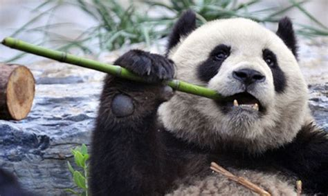 With Giant Panda Numbers Rising, China Still Faces Huge