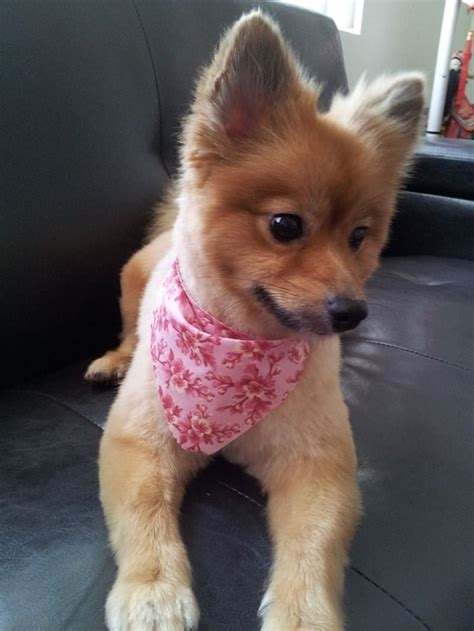 45 Haircut Inspirations for Your Adorable Pomeranian