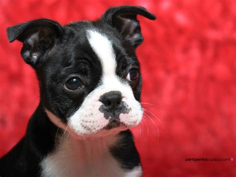 Boston Terrier Breed Guide - Learn about the Boston Terrier