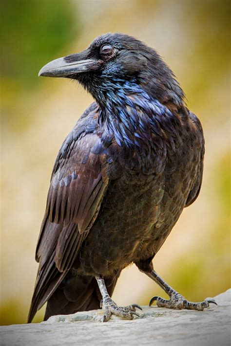 Symbolic meaning of raven   Crows, Ravens, Grackles