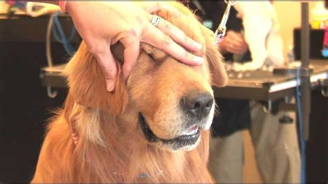 Grooming Your Dog's Ears in Natural Style - Dog Grooming