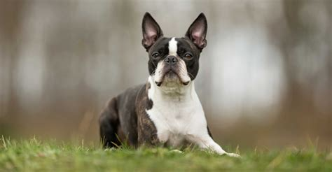 Boston Terrier Dog Breed » Information, Pictures, & More