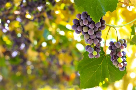 Climate change brings early grape harvests for French wine