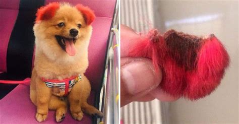 Dog's Ears Completely Fall Off After Owner Dyes Ears Red