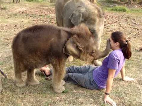 Baby Elephant Searches for Girl's Nose - YouTube