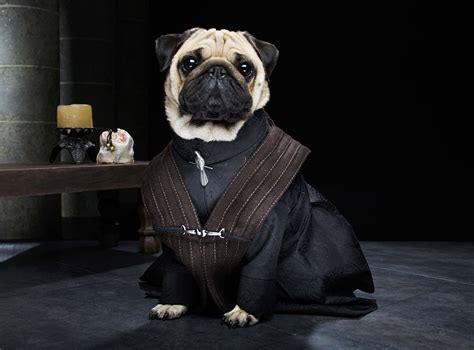 The Pugs Of Westeros: Three Pugs Re-enact Game Of Thrones