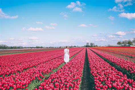 Tulip Fields and Windmills in Holland - Barefoot Blonde by